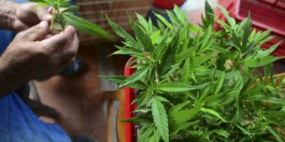 latin america cannabis